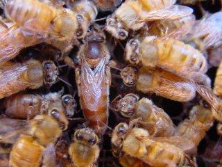 موسوعه النحل معرفته النحل